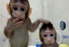 两克隆猴在中国诞生