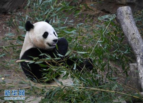 澳门电子游戏网址大全:大熊猫年夜饭吃什么?竹笋+胡萝卜!
