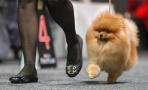 德国举办国际纯种狗展