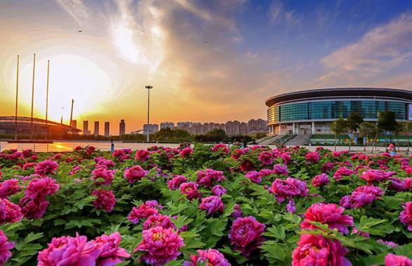 何时观赏洛阳牡丹最佳?官方说4月中旬进入盛花期