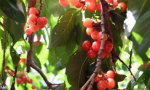 林果种植助农增收