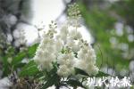 """快去打卡!南京中山植物园""""爱情隧道""""即将繁花如雪"""