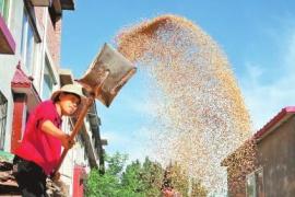 如何收购?今年河南小麦最低收购价每斤1.15元