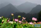 河南栾川400余亩荷花陆续开放 助力乡村旅游