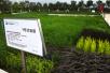 青岛:海水稻材料长势良好