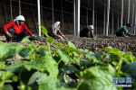 磁县科技小薯苗撑起脱贫致富大产业