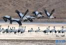 淇河湿地公园鹤苑十一前后开园 75只鹤入住