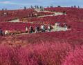 日本3万株扫帚草变红毯