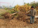 郑州南水北调南岸近500棵树遭毁 谁干的?