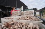 河北内丘:食用菌种植富农家