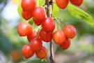 红山樱桃文化节开幕!洛阳西工区委副书记为家乡旅游代言