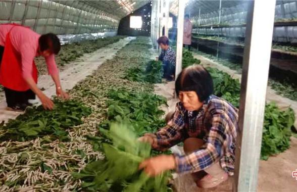 河南汝州:蚕桑产业助农增收