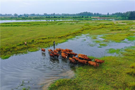 河南光山:河川大草原 养牛富乡亲