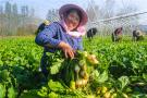 河南光山:萝卜喜获丰收