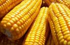 东北玉米春播期遭遇大旱 或将拉动玉米市场回温