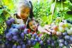 又到葡萄成熟的季节 洛阳采摘葡萄攻略公布