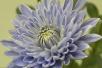 利用转基因技术,日本科学家培育出了蓝色菊花