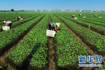 夏津黄河故道古桑树群入选世界重要农业文化遗产