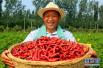 鸡泽:辣椒丰收富农家