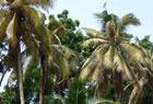 菲律宾爆发椰子害虫