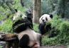 杭州熊猫史:42年来过12只熊猫,养起来还真不容易