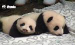 熊猫基地迎来大丰收