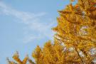 北京深秋最美的黄叶