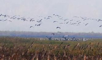 2000多只灰鹤飞抵黄河湿地越冬