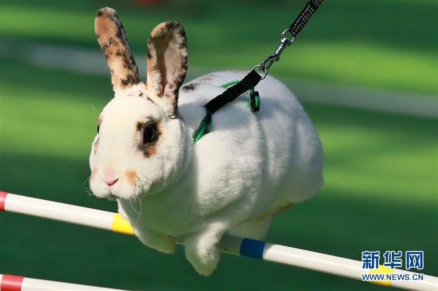 兔子的田径比赛