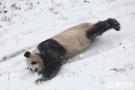 熊猫在雪地里撒野
