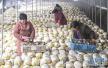新春走基层:杞县傅集镇吕寨村 蘑菇产业助贫困户脱贫