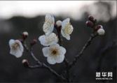 南京国际梅花节开幕 春节进入最佳赏梅期