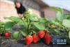 转行种草莓丈夫