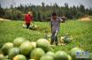 又到吃西瓜的季节 你知道济南哪里产西瓜吗?
