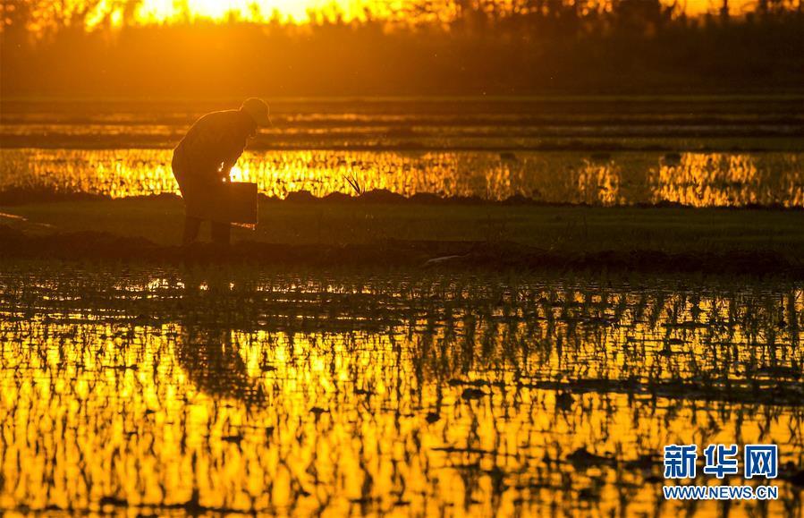 块块稻田水满如镜