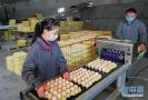 河北宁晋:无抗养鸡促增收