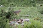 中国境内首次发现亚洲胡狼