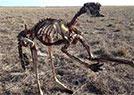 澳洲旱灾袋鼠成骨架
