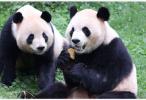 """日媒:中日将达成新的大熊猫租借协议,再续""""熊猫外交"""""""