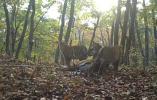 喜讯!东北虎豹国家公园连续拍到虎妈带幼崽出巡,至少是3组家庭