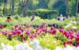 洛阳牡丹今年怎么看?五大游园免费入园现场赏花需预约