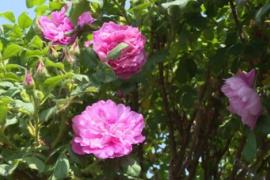 花香溢滿致富路 千畝玫瑰盛放徐州邳州小山村