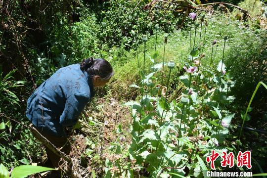 图为民警在菜地里发现了正值盛花期的罂粟苗 代子云 摄