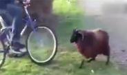 最惹不起的山羊