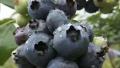 【扶贫公益大联盟】暴雨致邵阳15万公斤西瓜、湘西7000斤蓝莓滞销 急寻买主