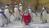 印度小企鹅穿大红T恤过生日