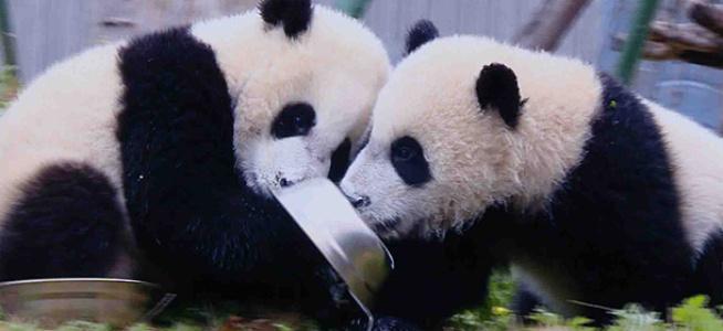 《欢乐中国人2》现场连线国宝熊猫爸爸妈妈分享网红滚滚日常