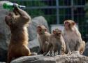 这群猴子会喝啤酒