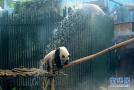 北京动物园大熊猫淋浴降温