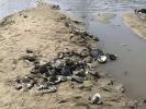松花江哈尔滨段水位走低 露出大片滩涂搁浅的蛤蜊